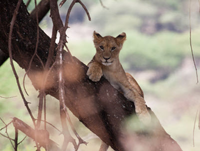 Tanzania safari and Zanzibar packages - Tree climbing lions