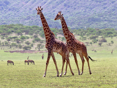 Tanzania safari and Zanzibar holidays - Giraffes in the unique Ngorongoro Crater
